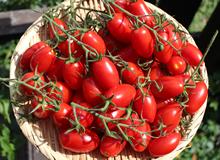 栄ちゃんトマト